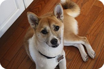 Shiba Inu Dog for adoption in Manassas, Virginia - Momiji