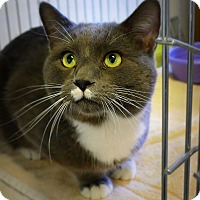 Domestic Shorthair Cat for adoption in Casa Grande, Arizona - Iman