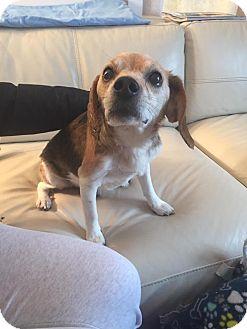 Beagle Mix Dog for adoption in Traverse City, Michigan - Teddy