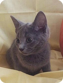 Domestic Shorthair Cat for adoption in Harrisonburg, Virginia - Smokey