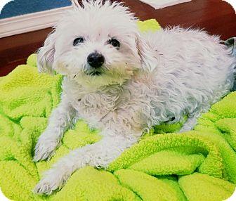 Maltese Mix Dog for adoption in Renton, Washington - Pokawang