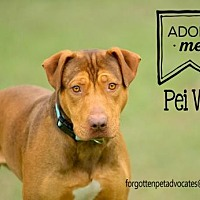 Adopt A Pet :: Pei Wei - Pearland, TX