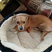 Adopt A Pet :: Lola - El Paso, TX