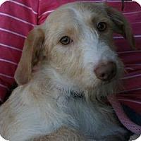 Adopt A Pet :: Darren - Canoga Park, CA