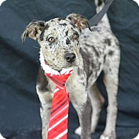 Adopt A Pet :: Scotty - Plano, TX