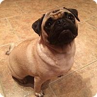 Adopt A Pet :: Penny - Huntingdon Valley, PA