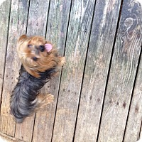 Adopt A Pet :: Yorkie m - Pompton lakes, NJ