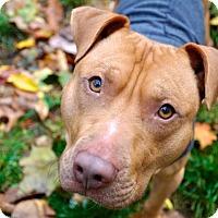 Adopt A Pet :: IAN special puppy needs an ang - Durham, NH