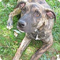 Adopt A Pet :: Boz - Homer, NY