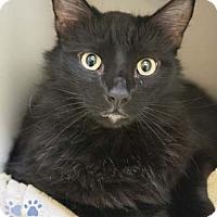 Adopt A Pet :: Mongo - Merrifield, VA