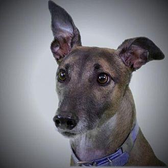 Greyhound Dog for adoption in Woodinville, Washington - Bill