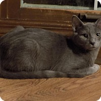 Adopt A Pet :: Qui-Gon (with Han) - Sterling Heights, MI