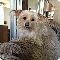 Adopt A Pet :: Suki - Van Nuys, CA