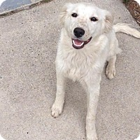 Adopt A Pet :: Brittany - Adoption pending - Rockville, MD