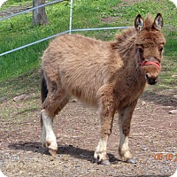 Donkey/Mule/Burro/Hinny Mix for adoption in Millerstown, Pennsylvania - TENO