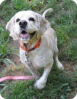 Cocker Spaniel Dog for adoption in Flushing, New York - Fluffy