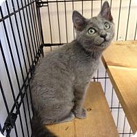 Adopt A Pet :: Blu - East Brunswick, NJ