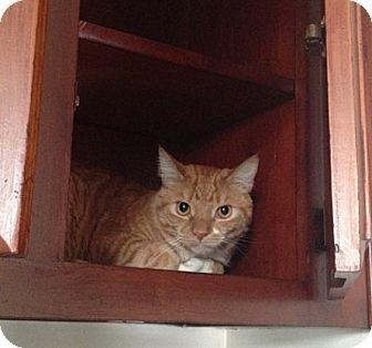 American Shorthair Cat for adoption in Brooklyn, New York - Sweet Potato*