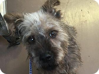 Irish Wolfhound Mix Puppy for adoption in Joliet, Illinois - Rex