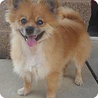 Pomeranian Dog for adoption in Bridgeton, Missouri - Sal