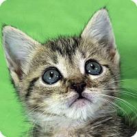 Domestic Shorthair Kitten for adoption in Austin, Texas - Windy