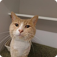 Domestic Mediumhair Cat for adoption in Crown Point, Indiana - Dasher