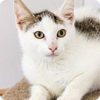 Domestic Mediumhair Kitten for adoption in Baltimore, Maryland - Scarlett