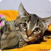 Adopt A Pet :: Taz - Neenah, WI