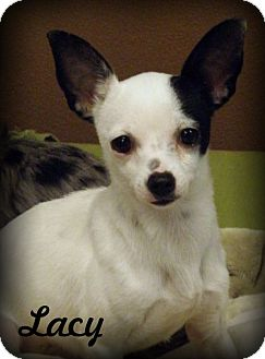 Chihuahua Dog for adoption in Anaheim Hills, California - Lacy