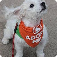 Maltese Mix Dog for adoption in Portland, Oregon - Becket