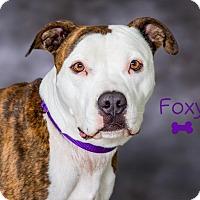 Adopt A Pet :: Foxy - Somerset, PA