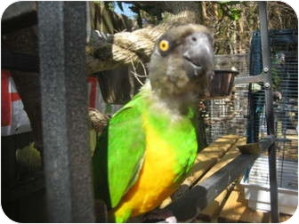 Parrot - Other for adoption in Melbourne Beach, Florida - Piwi