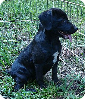 Labrador Retriever Mix Puppy for adoption in Harrisonburg, Virginia - Monday ($275 fee)