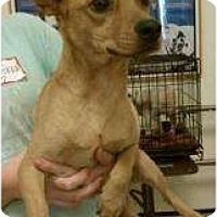 Chihuahua Mix Dog for adoption in Tucson, Arizona - Willie