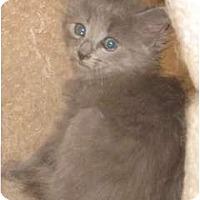Adopt A Pet :: Blue kittens - Dallas, TX