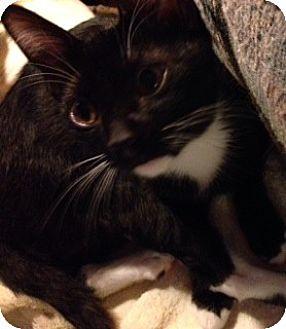 Domestic Shorthair Cat for adoption in Burbank, California - Keeche