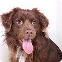 Adopt A Pet :: Cocoa - Sudbury, MA