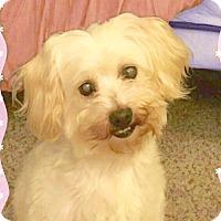 Adopt A Pet :: Maya loves to cuddle! - Redondo Beach, CA