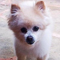 Pomeranian Dog for adoption in Norman, Oklahoma - Patrick