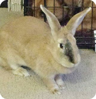 Flemish Giant Mix for adoption in Hadley, Michigan - Thumper