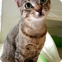 Domestic Shorthair Cat for adoption in Key Largo, Florida - Mabel