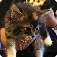 Adopt A Pet :: Audrey - Loveland, CO