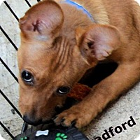 Adopt A Pet :: Bradford - Simi Valley, CA