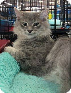 Domestic Longhair Cat for adoption in Port Republic, Maryland - Hughly