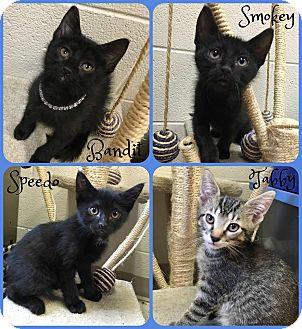 Domestic Shorthair Kitten for adoption in Joliet, Illinois - Smokey