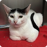 Domestic Shorthair Kitten for adoption in Gatineau, Quebec - Madison