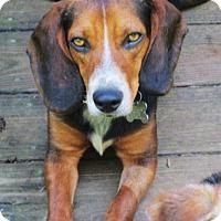 Adopt A Pet :: WOODY - Williston Park, NY