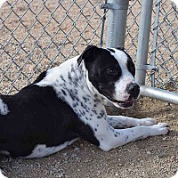 Pointer/American Staffordshire Terrier Mix Dog for adoption in Sierra Vista, Arizona - Keona