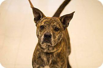 Mastiff/Boxer Mix Dog for adoption in Pittsburg, Kansas - Brynn