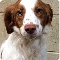 Adopt A Pet :: Harley - Williston, VT
